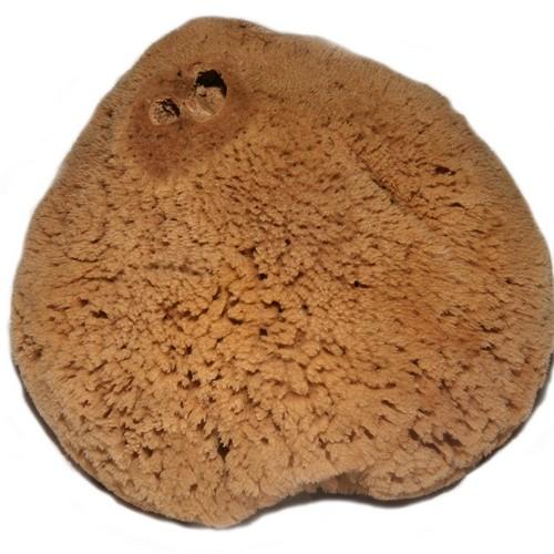 Hardhead Sponge