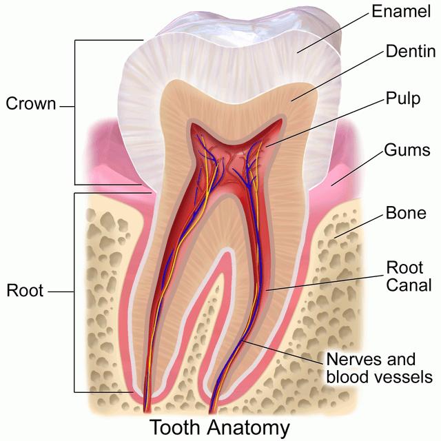 Blausen_0863_ToothAnatomy_02